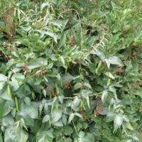 Kent County Michigan Invasive Plants with Pods