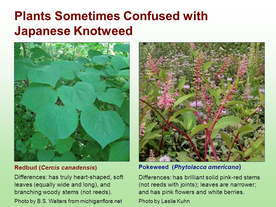 Plants confused with Japanese Knotweed