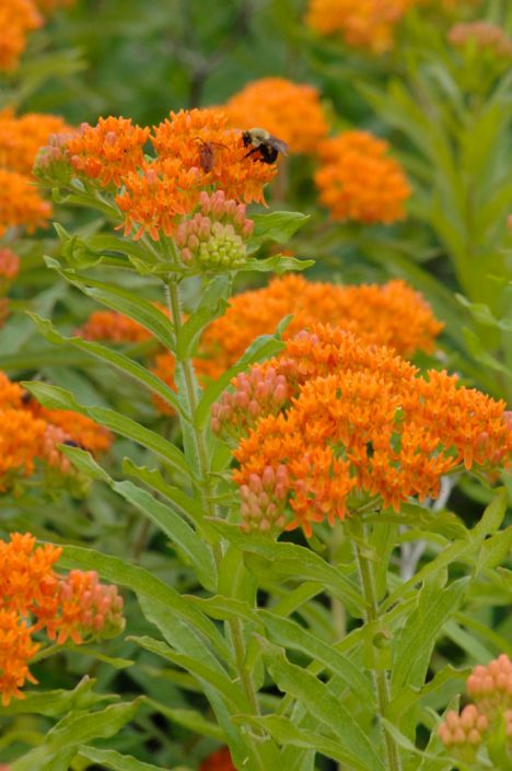 Red Butterfly Milkweed Asclepias Curassavica Red: Kent Conservation District